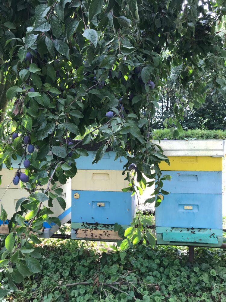 Nie ma lipy... Czyli jak pszczelarze ubolewają nad słabymi zbiorami miodu lipowego.